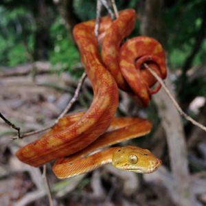 c. hortulanus