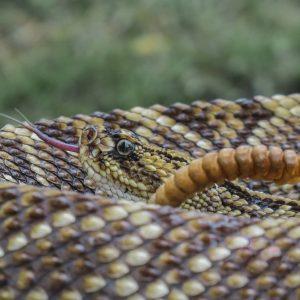 c. durissus