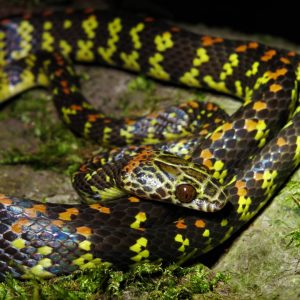 siphlophis cervinus snake patrol suriname