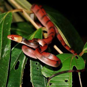 siplophis compressus snake patrol suriname